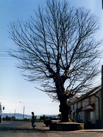 The Bull tree 1988