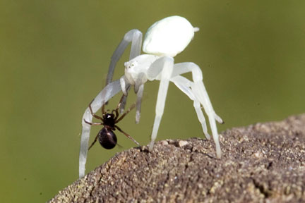 Linyphiid-spider-on-misumena-vatia