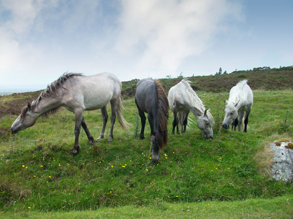 Wild horses on Mt. Leinster
