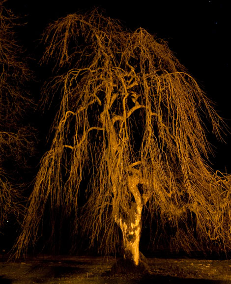 Weeping ash about 150 years old