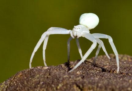 Crab spider, Misumena vatia